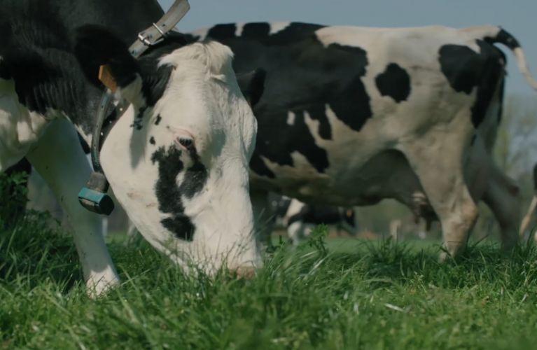 Vache au pâturage