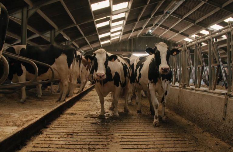Koeien in de stallen